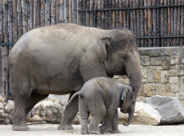 Бродячие слоны продолжают опасное путешествие по Китаю