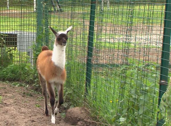 Любопытство и походка вприпрыжку: в Ярославском зоопарке родился детеныш ламы