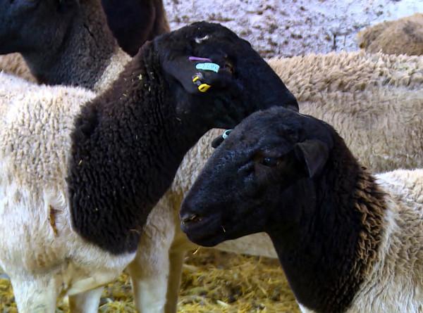 Особая порода: австралийских овец начали разводить в Кыргызстане