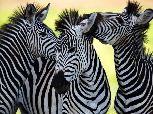 Полосатое пополнение: в Московский зоопарк приехали зебры Греви