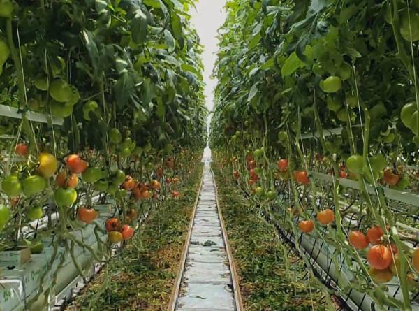 Фермерские династии: в чем секрет белорусских помидоров?