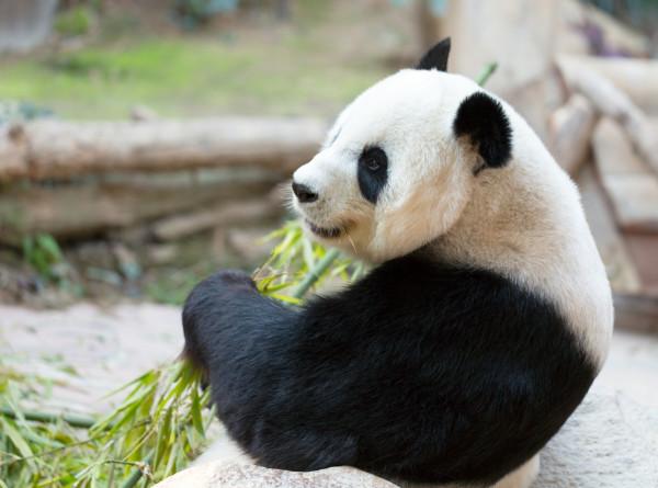 В зоопарке Токио большая панда Синсин родила двух детенышей