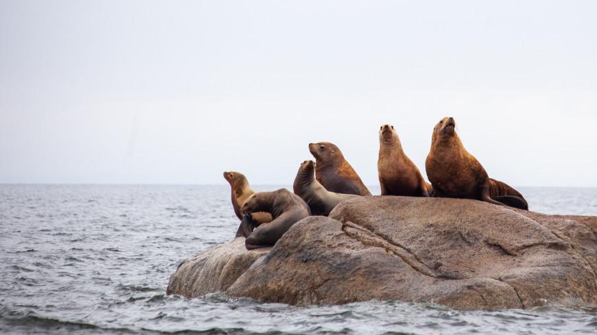 Гости из океана: более 300 морских львов захватили побережье Чили