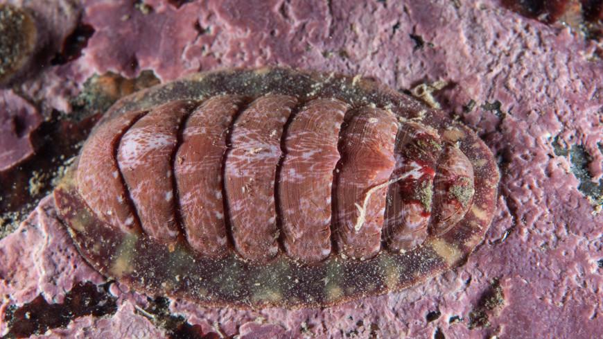 В зубах крупнейшего панцирного моллюска нашли редкий минерал