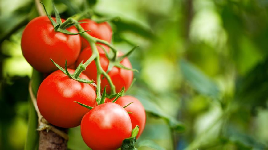 У помидоров выявили зачатки нервной системы