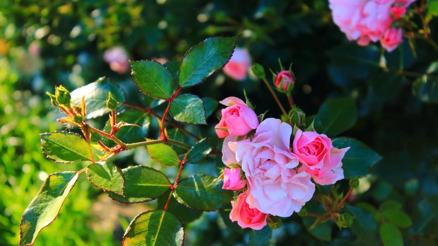 Советы цветоводу: что делать с розой, если она почернела