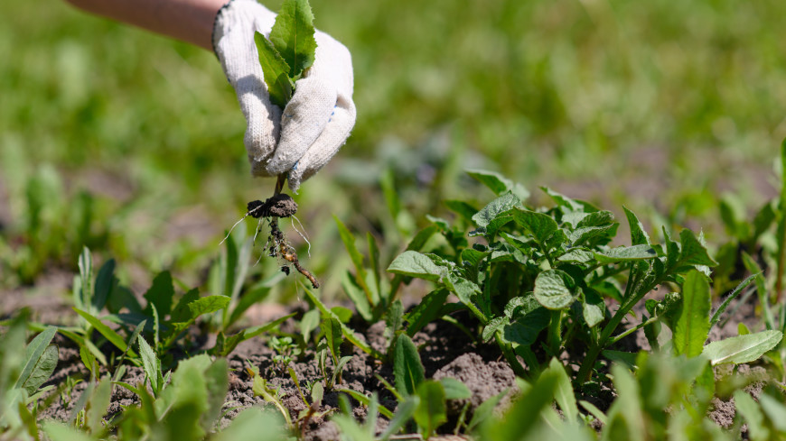 Спасти урожай: нужно ли в жару пропалывать сорняки?