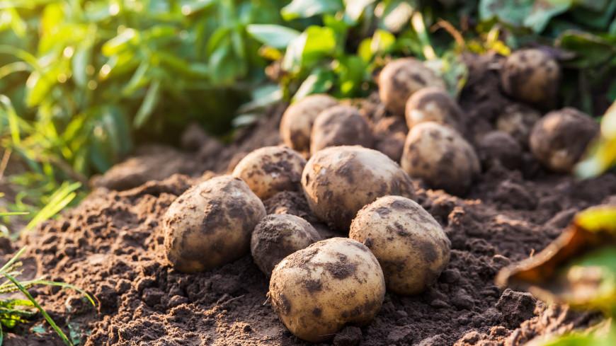 Эксперты назвали простой способ вырастить крупный картофель