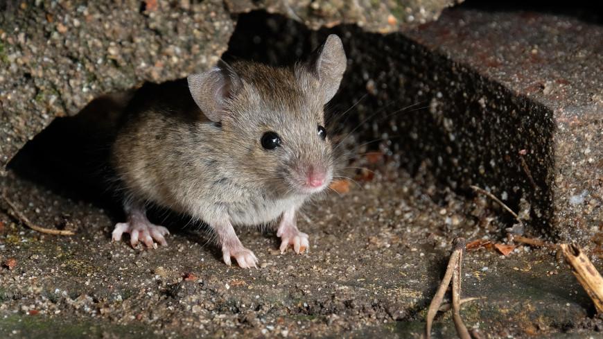 Заключенных одной из тюрем Австралии эвакуировали из-за нашествия мышей