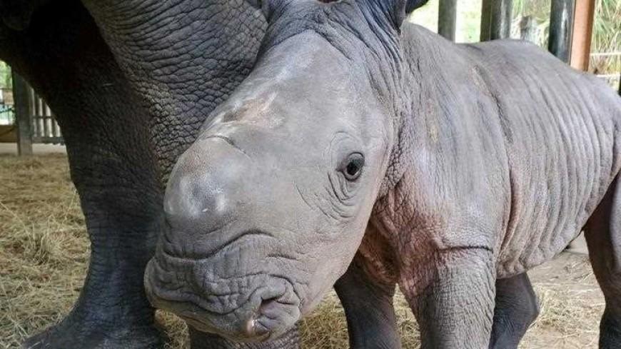 В американском зоопарке родился редкий белый носорог