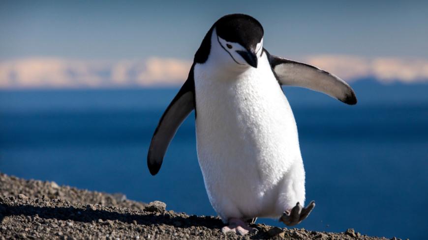В американском зоопарке пингвину с артритом подарили ботинки