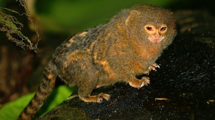 Самых маленьких в мире обезьян разделили на два вида