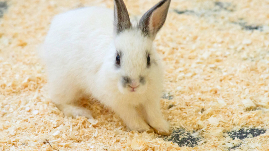 Кролики стали передвигаться на передних лапах из-за генетической мутации (ВИДЕО)