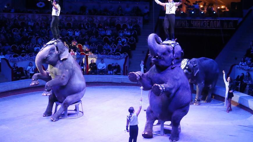 Зоологи рассказали о возможных причинах драки слонов в цирке Казани