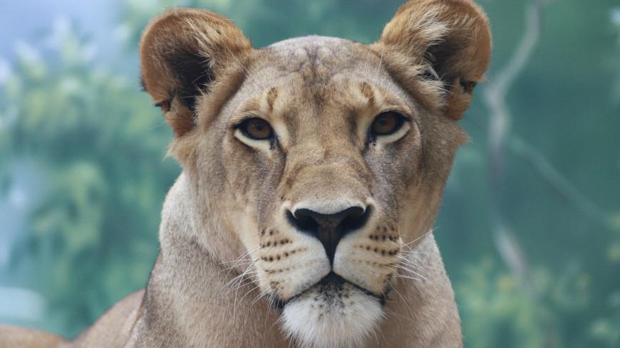 В Иркутской области спасли львицу, содержавшуюся в тесном вольере