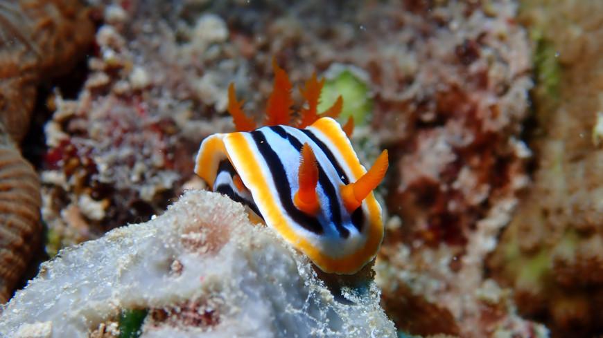 Морские слизни научились выращивать новое тело взамен утраченного