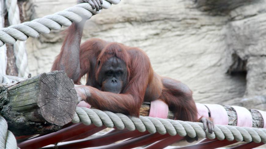 обезьяна, орангутан