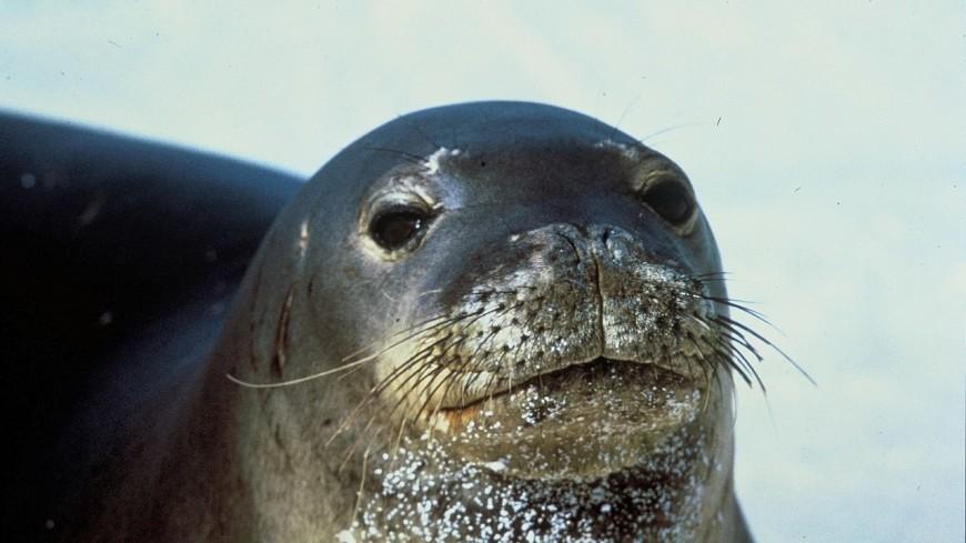 Британские биологи нашли место размножения редкого вида тюленей