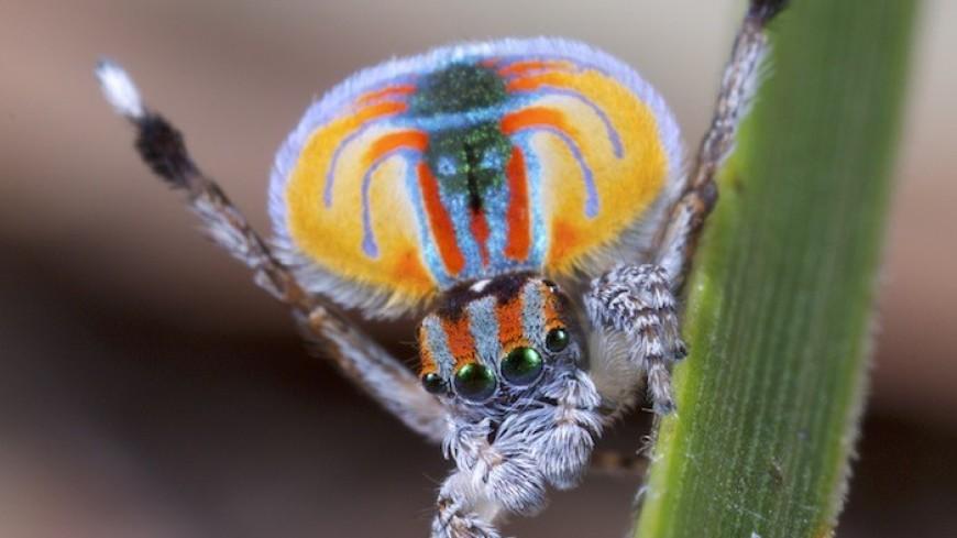 Новый вид паука-павлина получил имя в честь героя мультфильма «В поисках Немо»