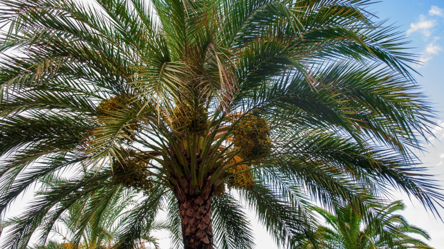 """Фото: Сергей Минеев (МТРК «Мир») """"«Мир 24»"""":http://mir24.tv/, экзотика, черногория, будва, пальма, дерево, растения, флора"""