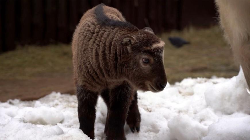 Детеныш краснокнижного сычуаньского такина родился в Московском зоопарке