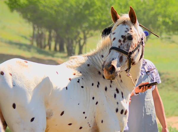 Где родилась пятнистая лошадь аппалуза?