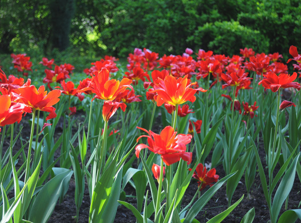 Красные, желтые и малиновые: Нур-Султан впервые за 10 лет украсят тысячами тюльпанов
