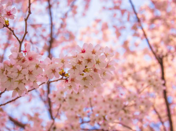 Распустившаяся японская сакура в Петербурге вызвала небывалый ажиотаж (ВИДЕО)