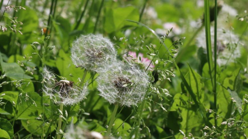 цветы, одуванчики