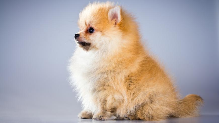 собака, шпиц, щенок, шерсть, померанский шпиц, питомцы, домашнее животное,