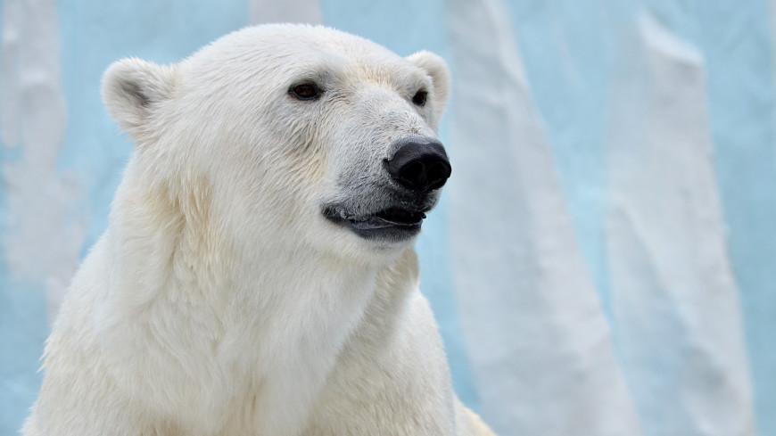 Спасенная в Якутии белая медведица прибыла на реабилитацию в Подмосковье