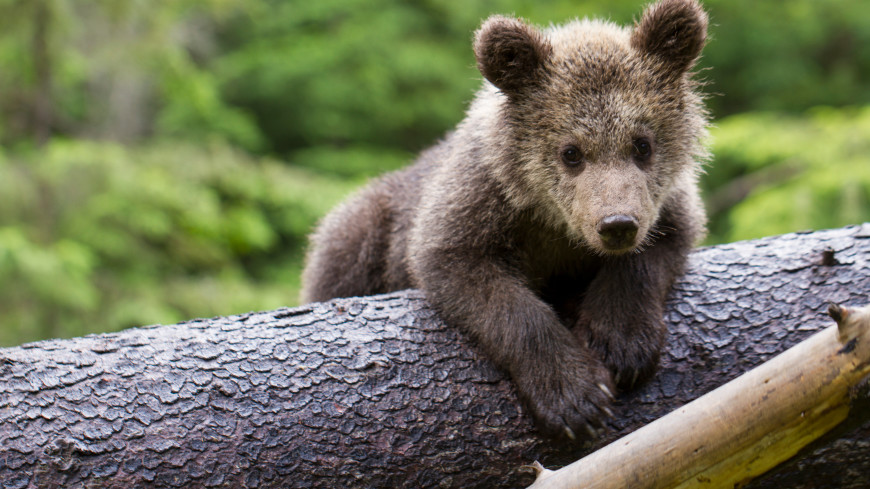 В Приморье спасли гималайского медвежонка-сироту