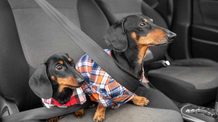 Тоже пассажир: как безопасно отвезти собаку на дачу
