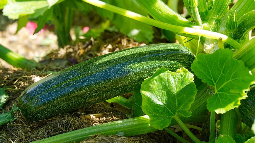 Как вырастить хороший урожай кабачков: семь главных секретов