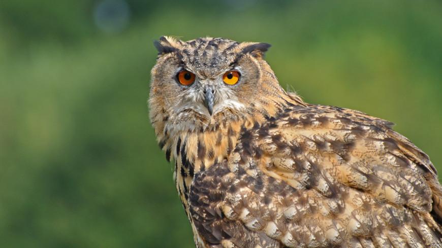 На Борнео впервые за 124 года заметили тропическую сову