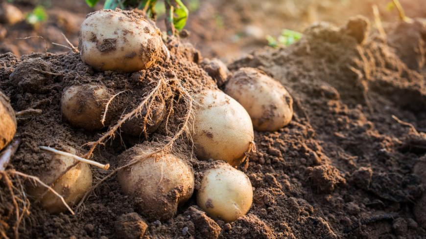 Для мозга, нервов и мышц: ученые рассказали о пользе картофеля