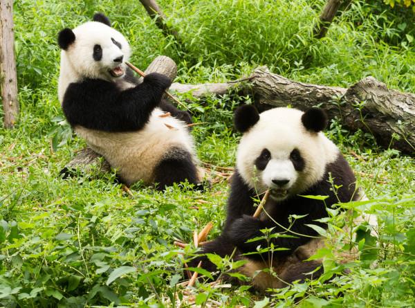 Панды-близнецы в США отметили пятый день рождения