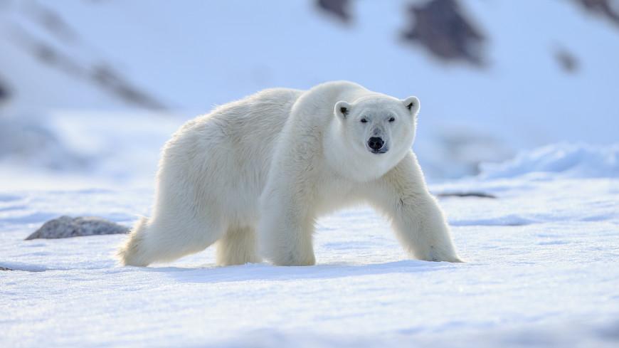 Глобальное потепление вынудило белых медведей к инцесту