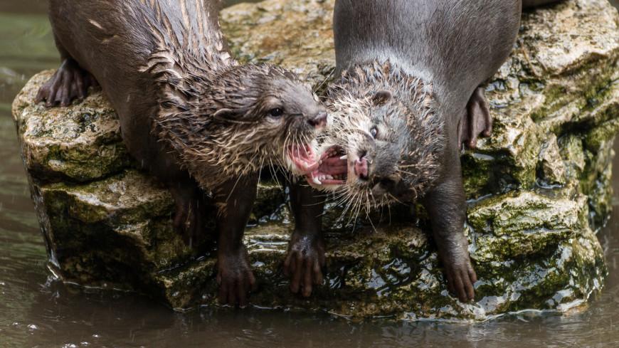 На Аляске стаи агрессивных выдр нападают на людей и животных