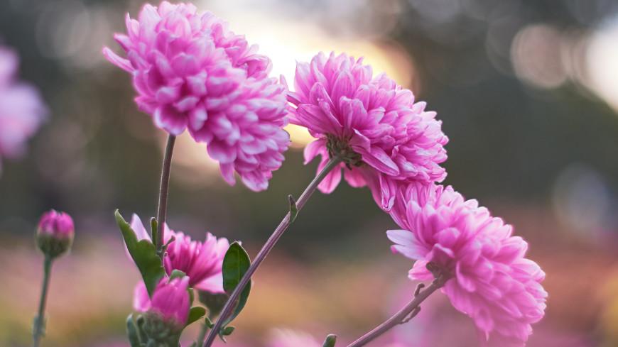 Готовим хризантемы к зиме: особенности осеннего ухода