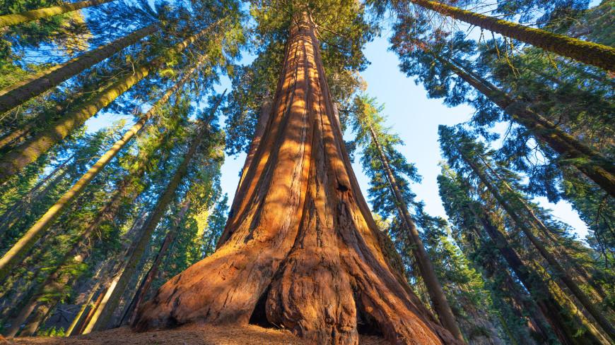В Калифорнии гигантские секвойи обернули одеялами из фольги