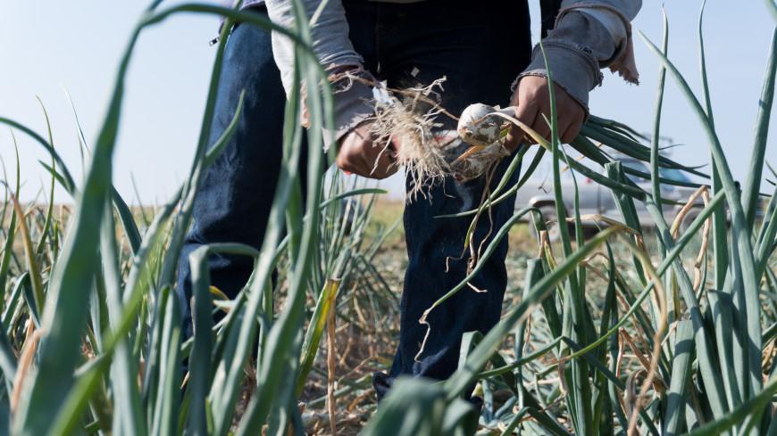 Неурожай в Кыргызстане: какие меры предпринимают власти страны?
