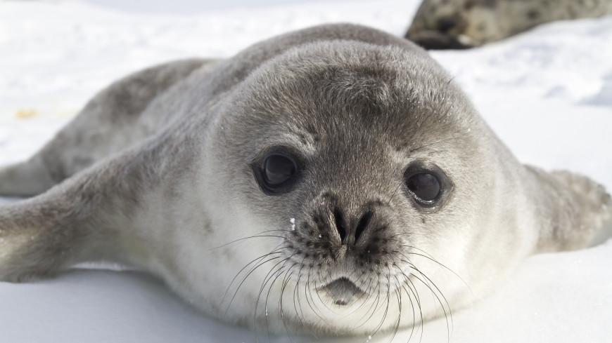 В Антарктиде провели полную перепись тюленей Уэдделла