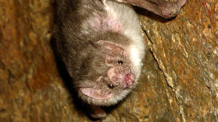 Ученые: Летучие мыши-вампиры любят охотиться с друзьями