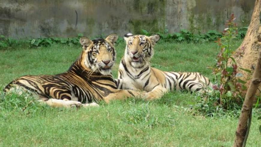 Генетики раскрыли тайну черных тигров из Индии