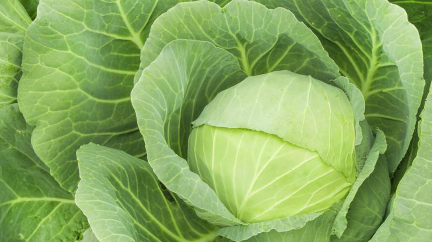 Не только защитить, но и увеличить: чем подкормить капусту в сентябре