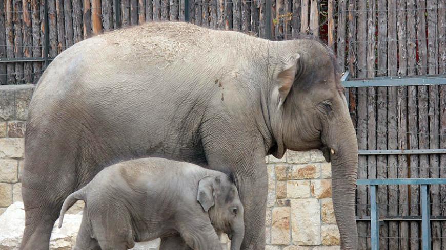 Ученые доказали, что наличие старших сестер положительно влияет на слонят